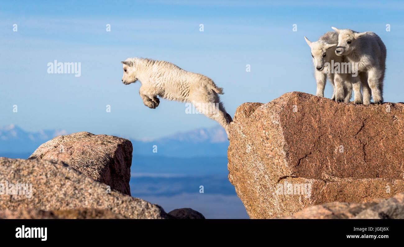 Capre di montagna lavorare i ragazzi sulla loro tecnica di salto Immagini Stock
