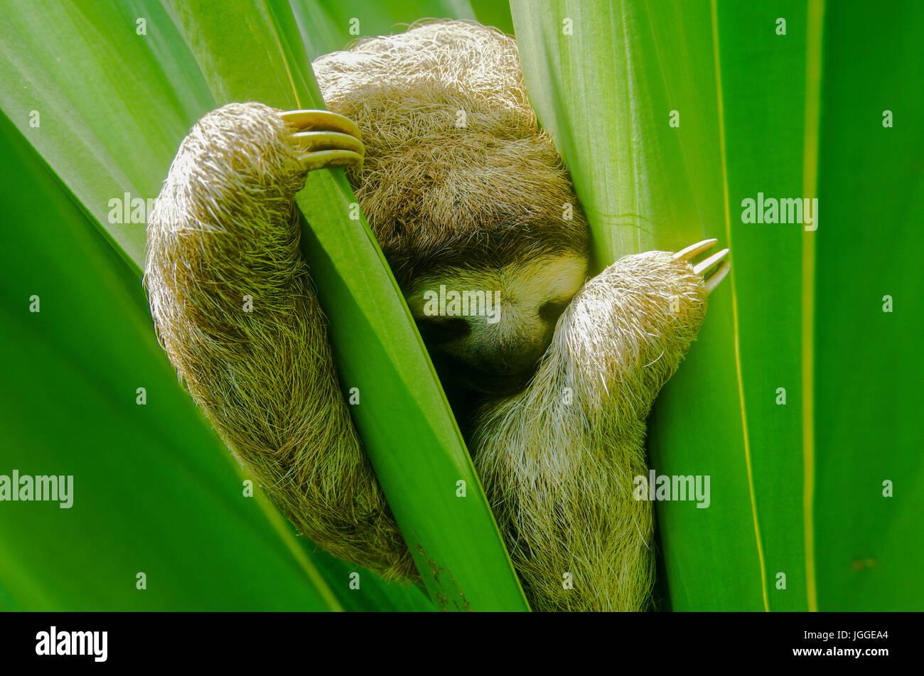 Il bradipo wildlife immagine presa in Panama Immagini Stock