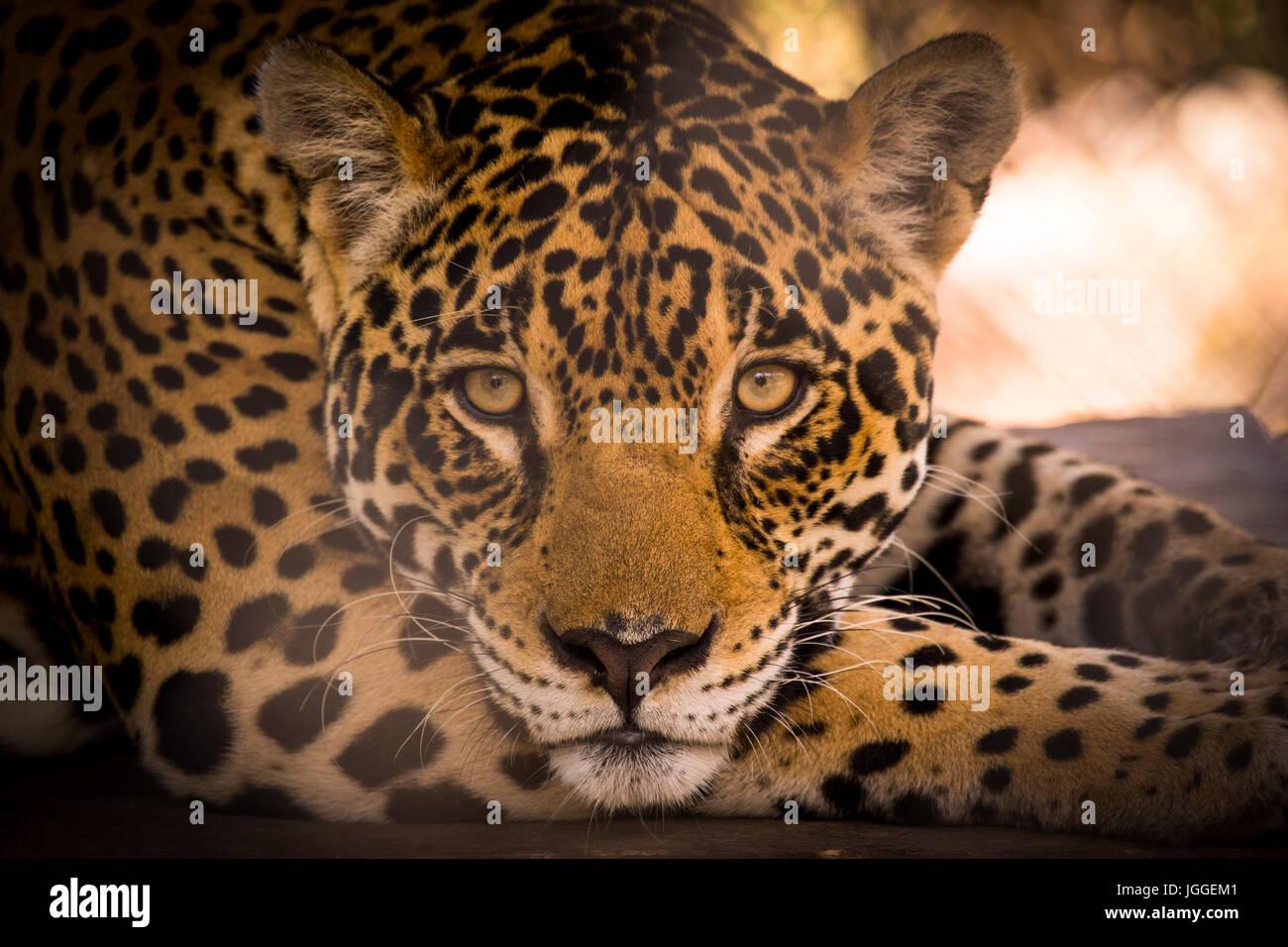 Grande gatto selvatico jaguar Panthera onca wildlife immagine presa in Panama Immagini Stock