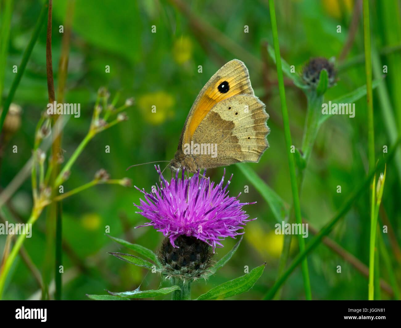 Prato farfalla marrone Maniola jurtina alimentazione fiordaliso sulla natura locale riserva Norfolk Immagini Stock