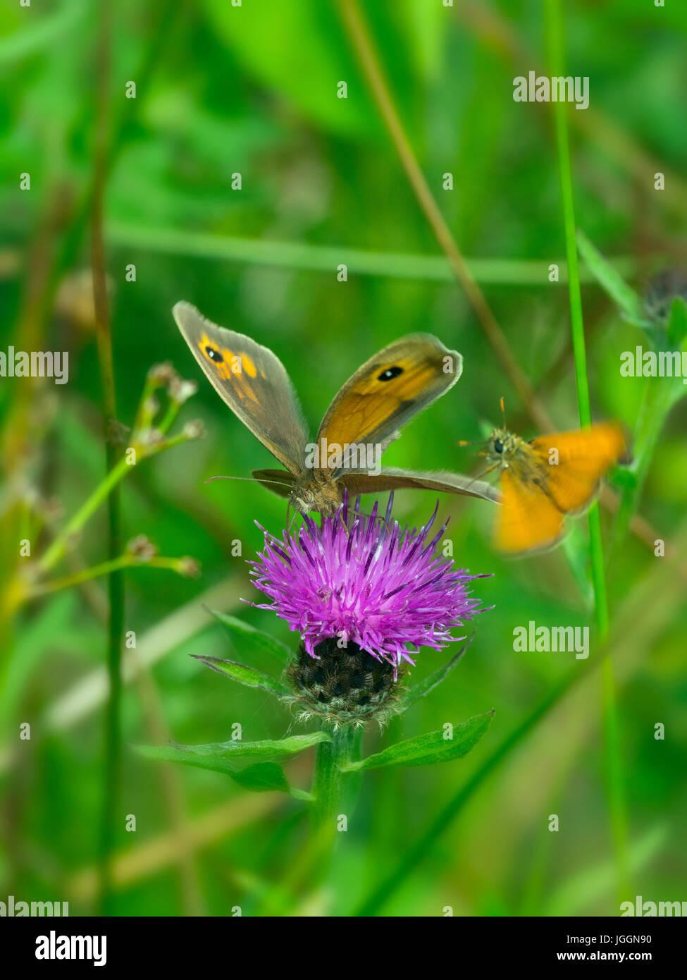 Prato Brown Maniola jurtina e piccole Skipper butterfly alimentazione fiordaliso sulla natura locale riserva Norfolk Immagini Stock