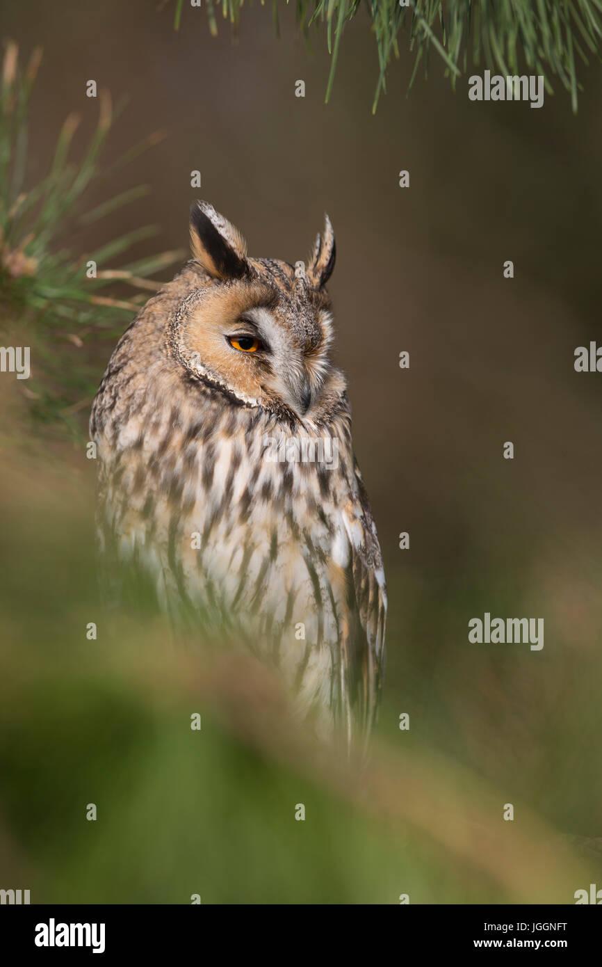 Long eared owl; asio otus singolo in pino, Regno Unito Immagini Stock