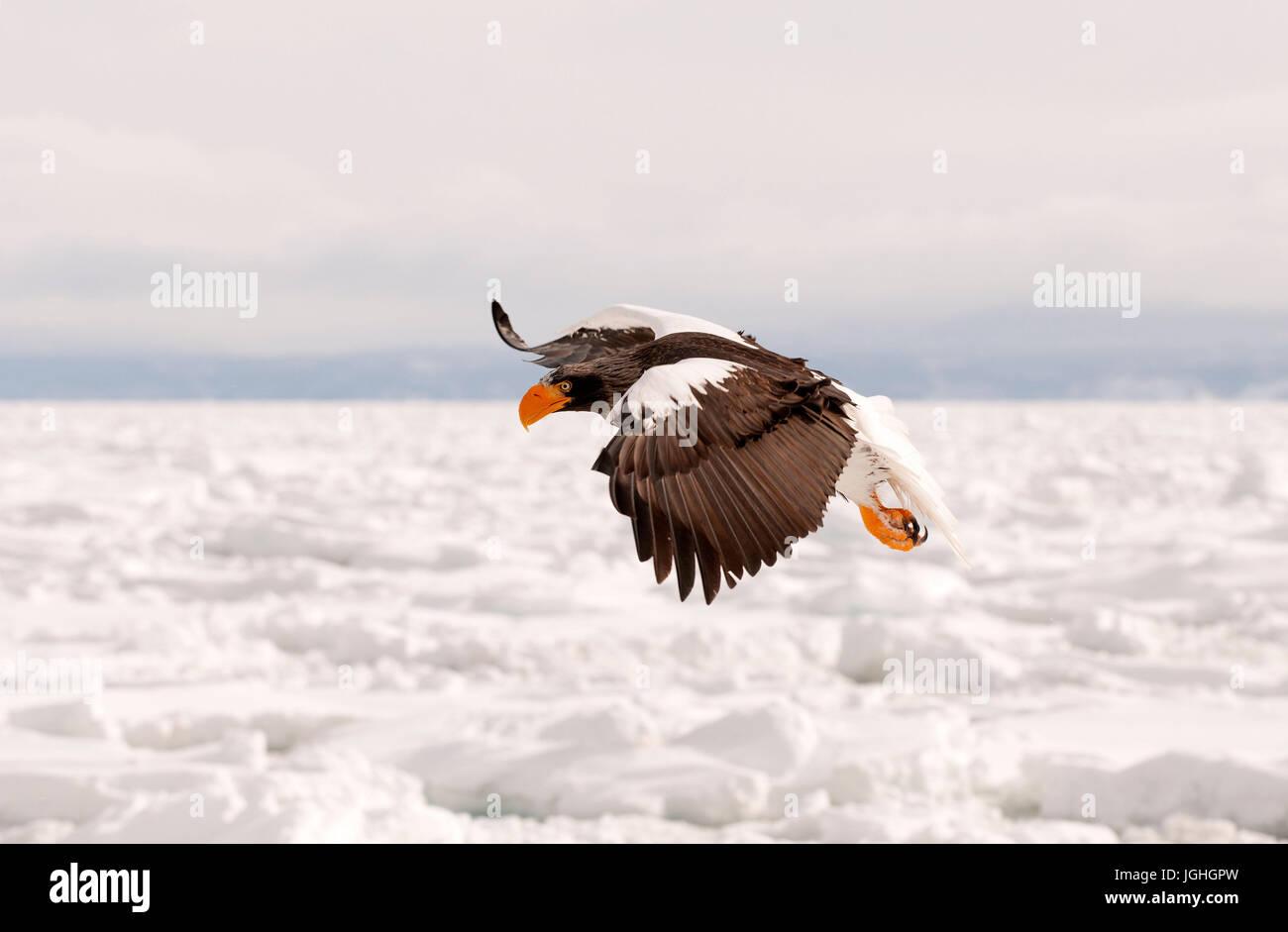 Steller's sea eagle (Haliaeetus pelagicus) battenti, Russia Steller's eagle, Haliaeetus pelagicus (Pygargue Immagini Stock