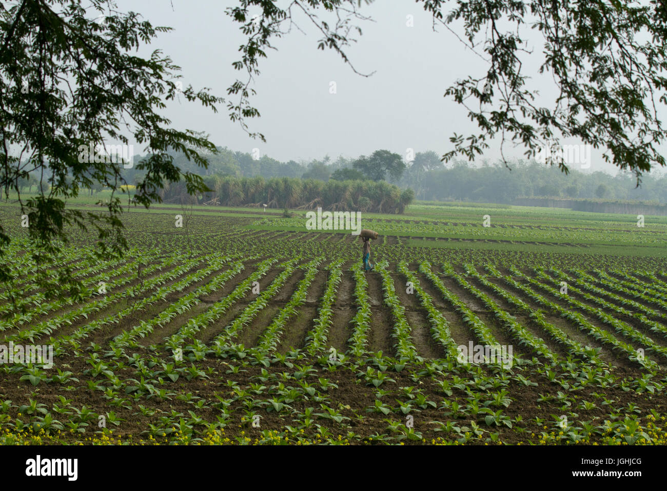 Campo di tabacco a Meherpur, Bangladesh Immagini Stock