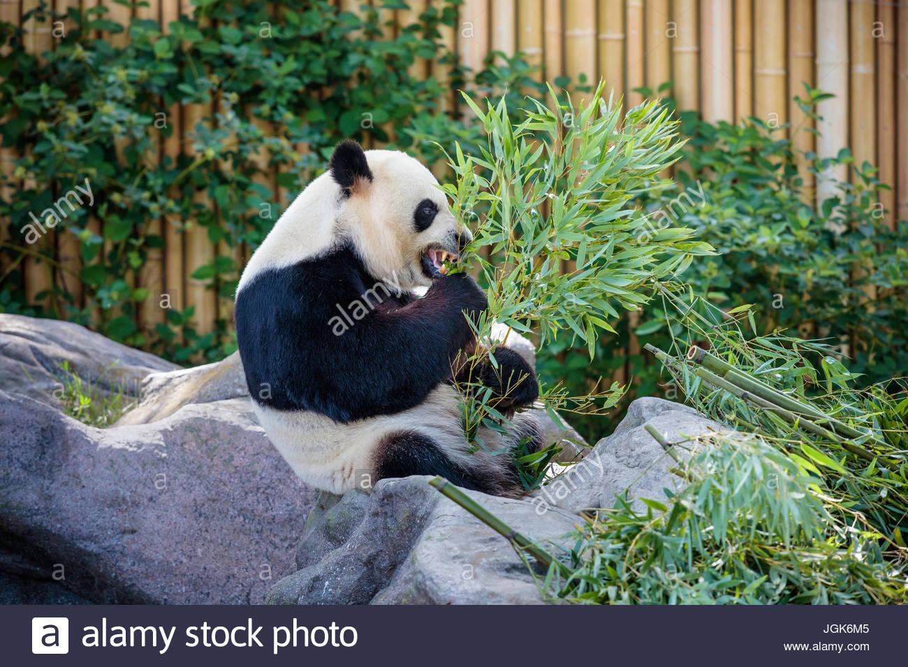 Toronto Zoo park panda gigante presentano Ailuropoda melanoleuca; orso panda presentano Viaggi turismo attrazione Immagini Stock