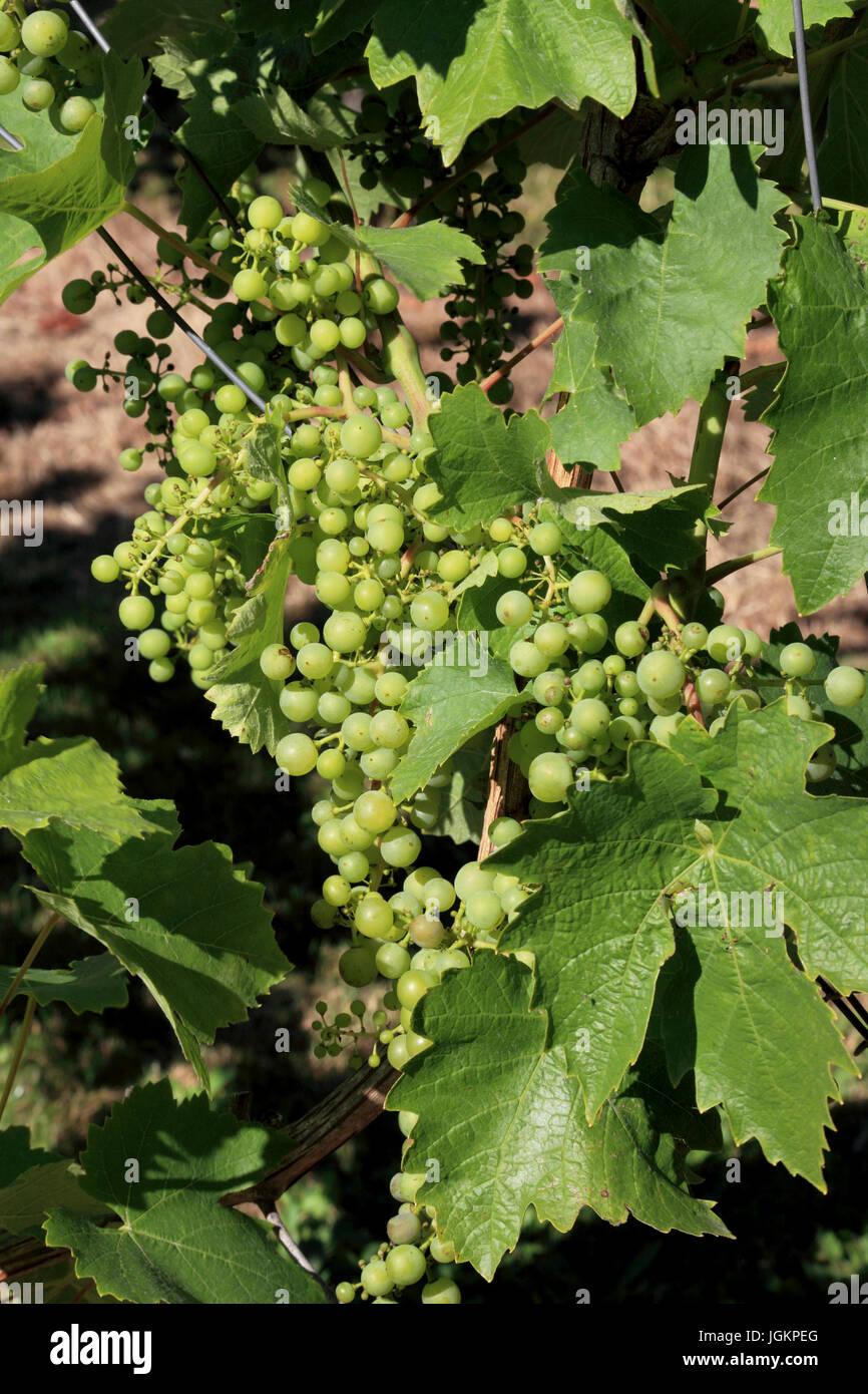 0170. Sfondi; colori; colori; visualizzazione; colori, verde, uva Immagini Stock