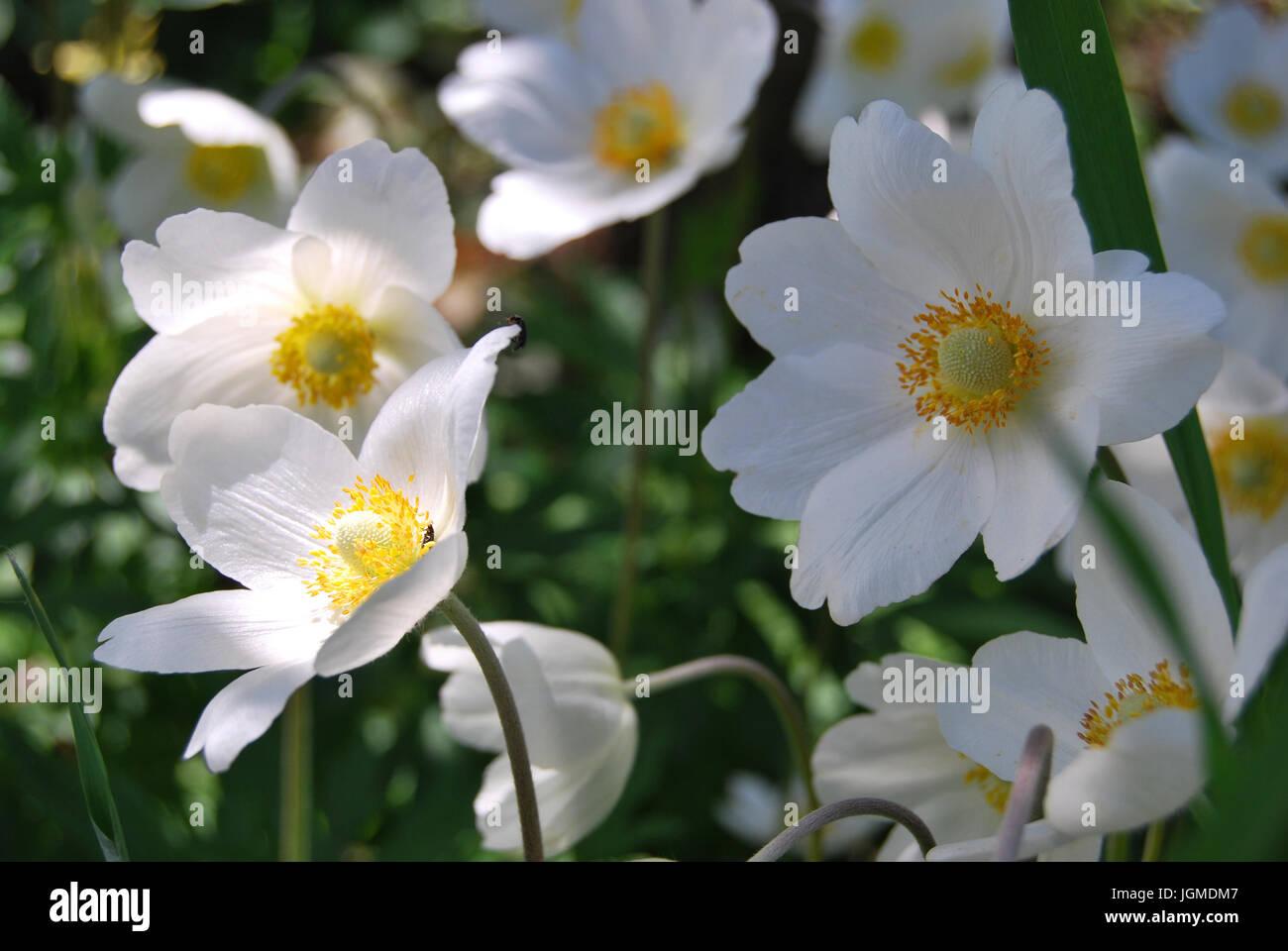 Fiori Bianchi Con Centro Nero.Fiore Bianco Con Centro Giallo Immagini Fiore Bianco Con Centro