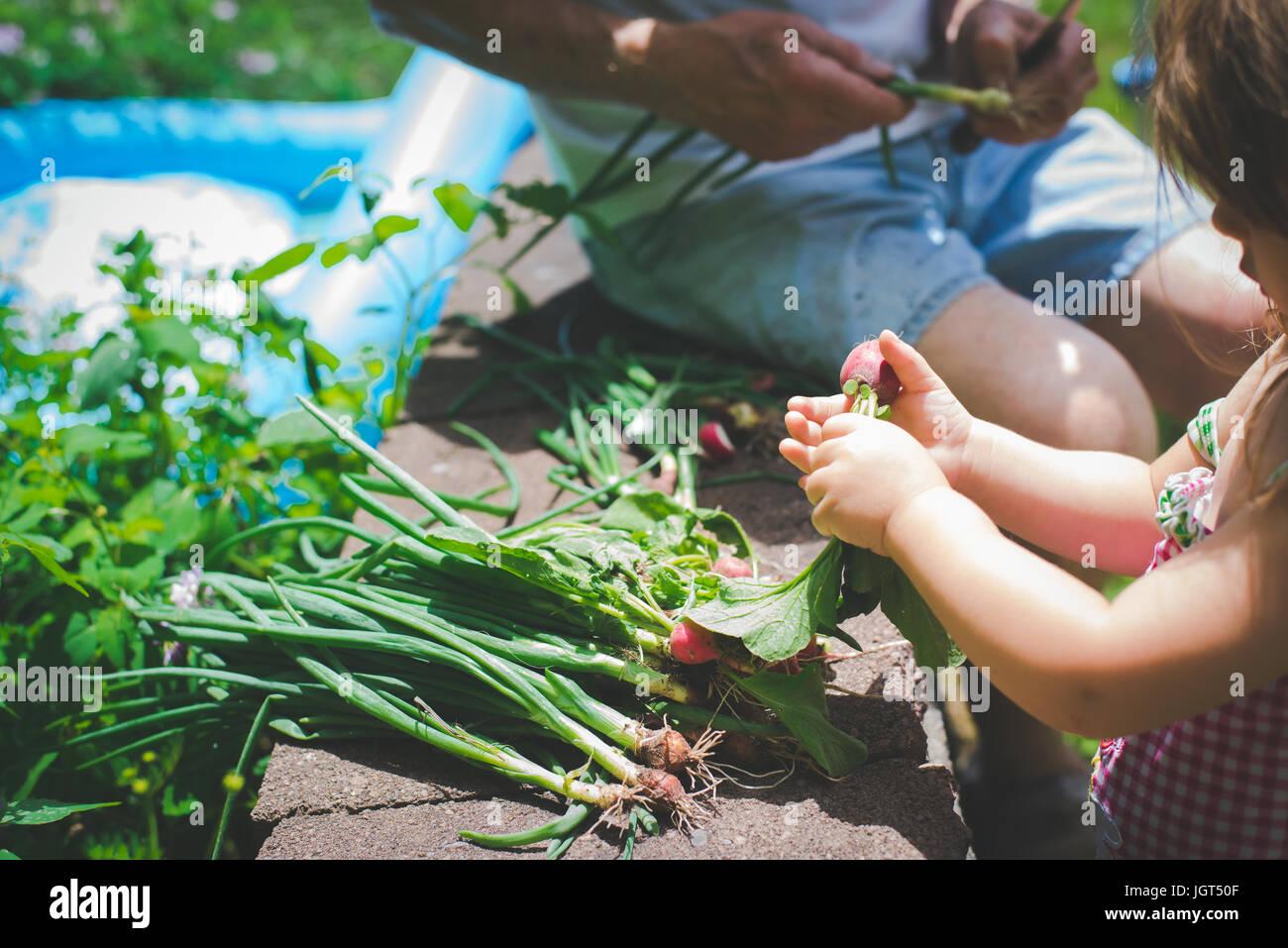 Un nonno provvede a tagliare le verdure fresche dal giardino con la sua nipote. Immagini Stock