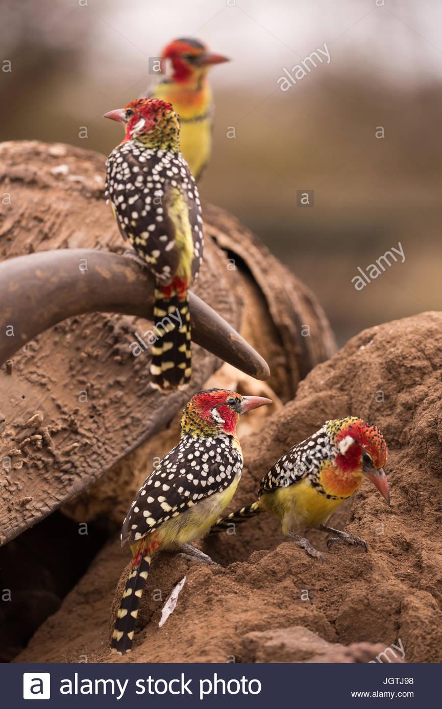 Rosso e giallo barbets appollaiarsi su un bufalo indiano di acqua il cranio. Immagini Stock