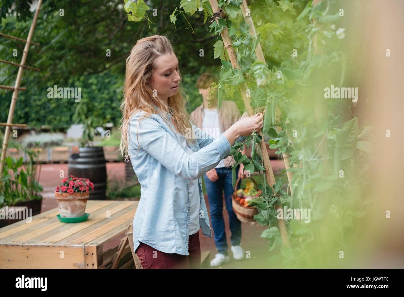 Giovane donna in giardino urbano, avvolgendo la coltivazione di piante intorno a canne di legno Immagini Stock