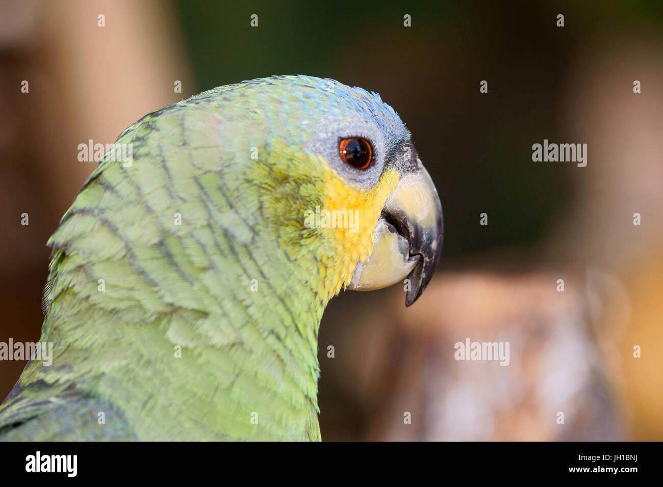 Uccello, Parrot-peccato-padule, Parrot-greco, curica, Vassouras, Maranhão Brasile Immagini Stock