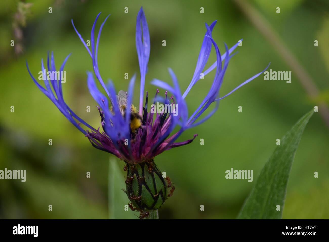 Bee impollinatori bachelor del pulsante Immagini Stock