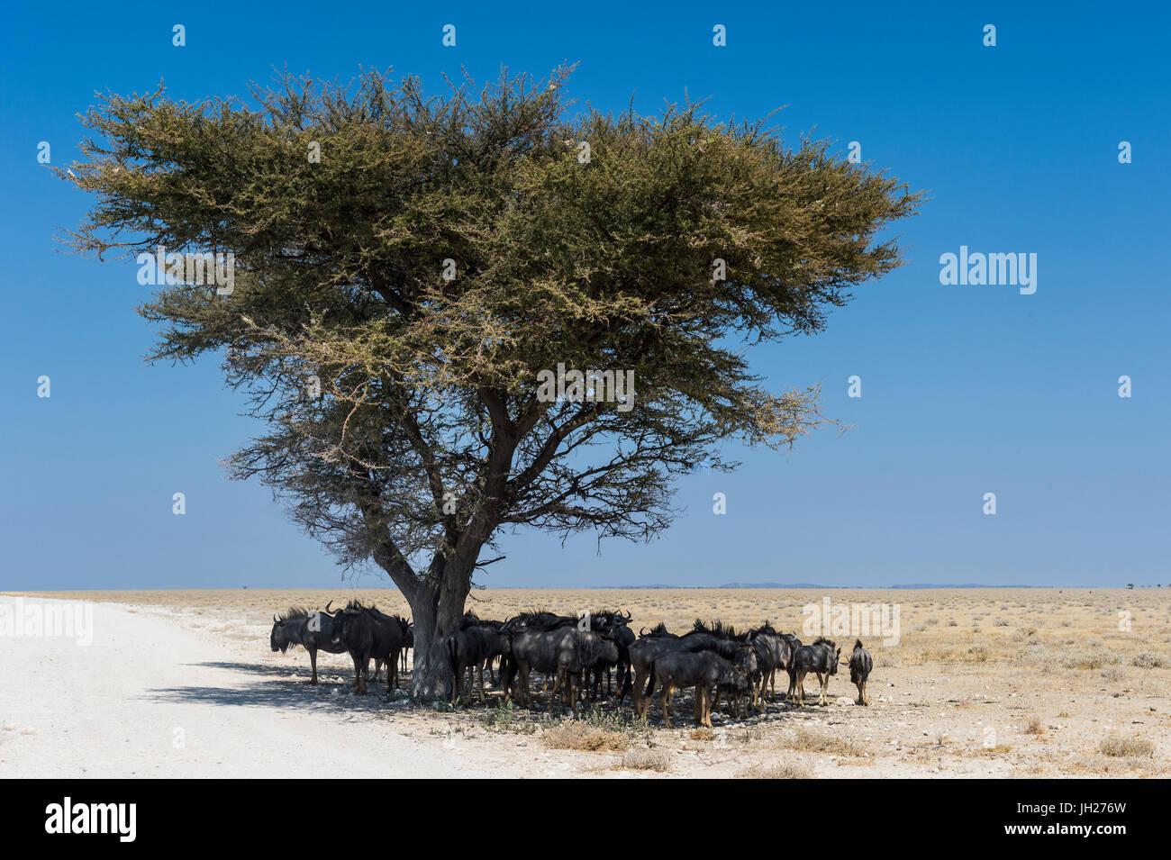 Wildebeests sotto un albero di acacia nel Parco Nazionale di Etosha, Namibia, Africa Immagini Stock