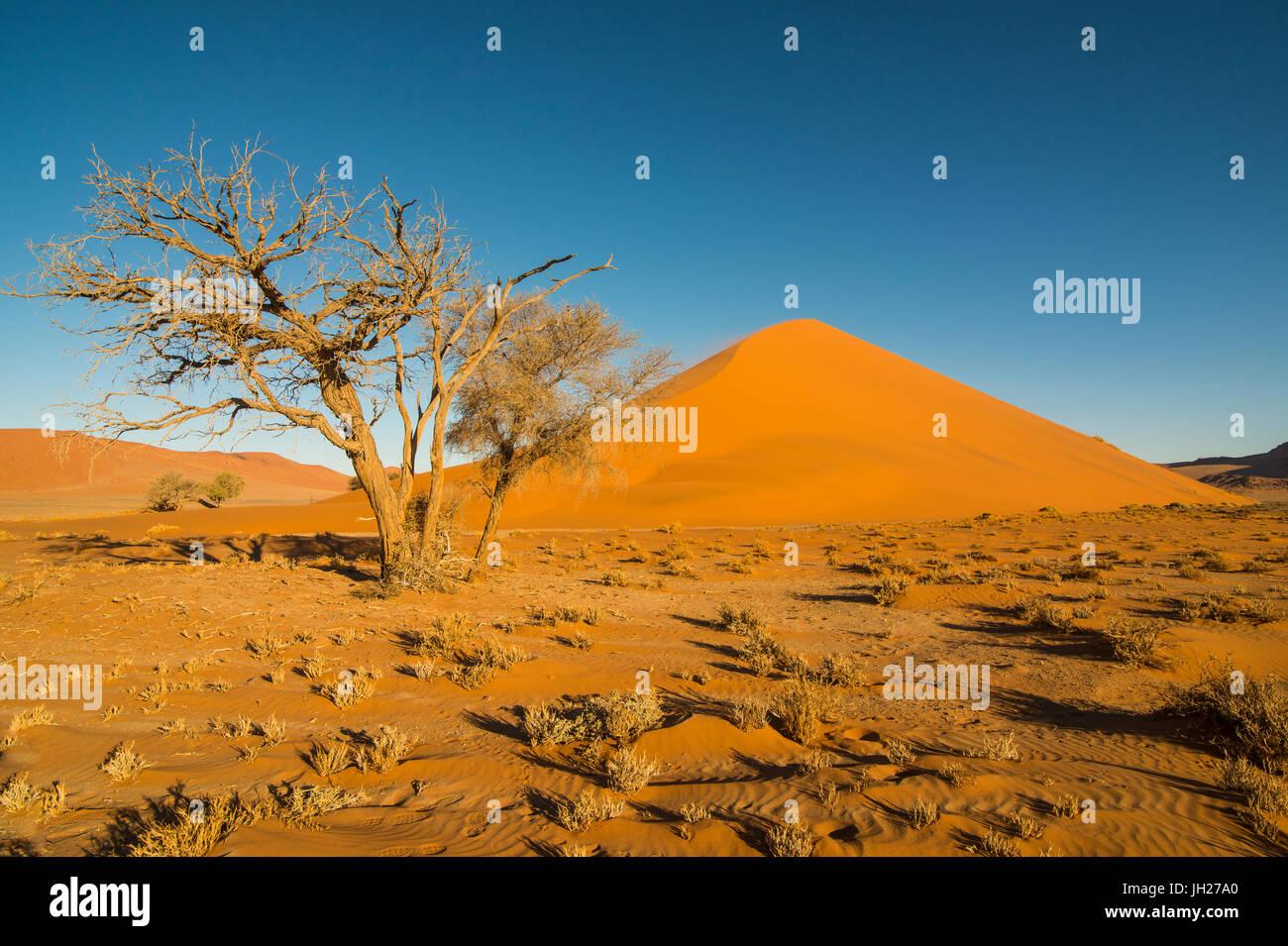 Acacia nella parte anteriore del gigante duna di sabbia 45, Sossusvlei, Namib-Naukluft National Park, Namibia, Africa Foto Stock