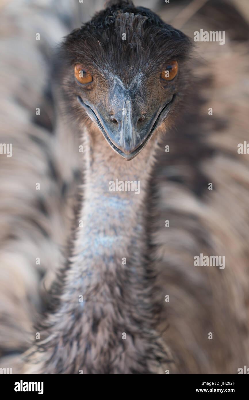 Close-up del viso e del collo della UEM, struzzo Safari Park, Oudsthoorn, Sud Africa e Africa Immagini Stock