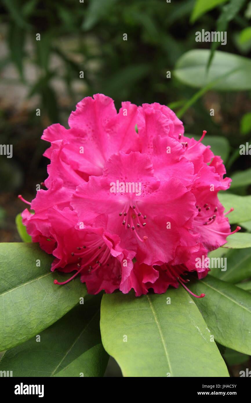 Rhododendron 'Germania' in piena fioritura al confine di un inglese Woodland Garden verso la fine di maggio, Immagini Stock