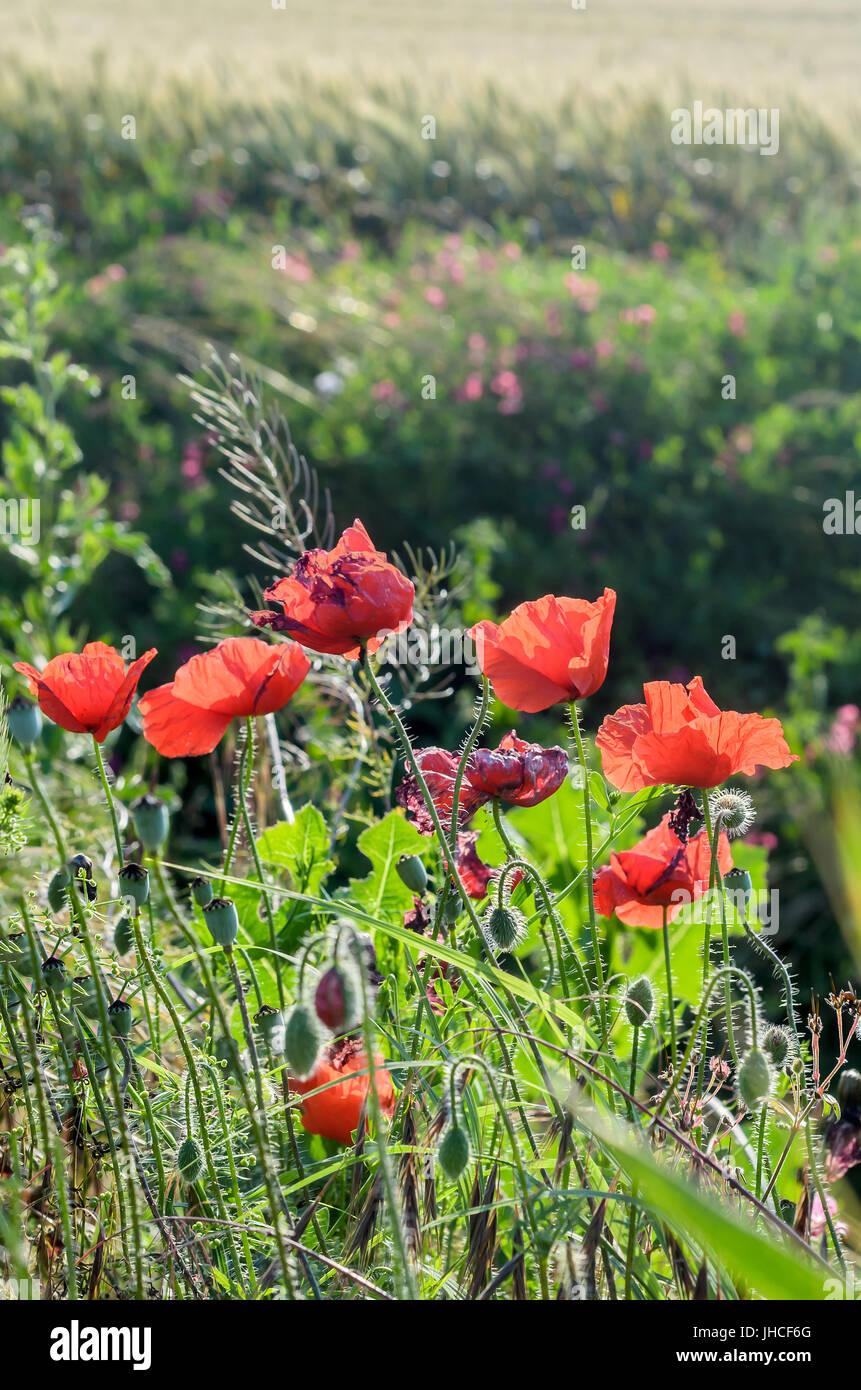 Fiori Rosa Nomi.Papaver Rhoeas Fiore Rosso Nomi Comuni Includono Il Mais Papavero