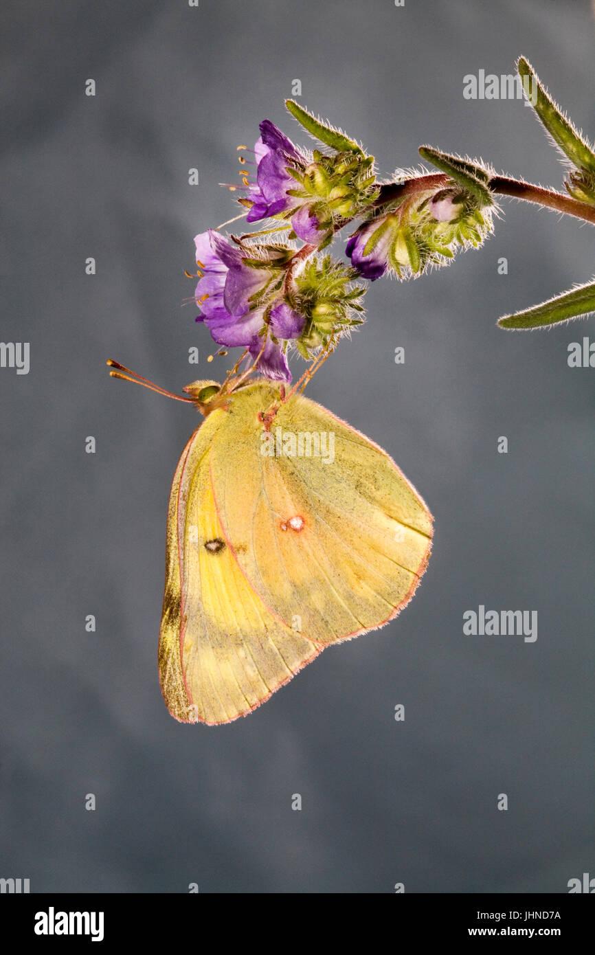 Un offuscato la farfalla di zolfo, Colias philodice eriphyle, su un millefiori. Immagini Stock