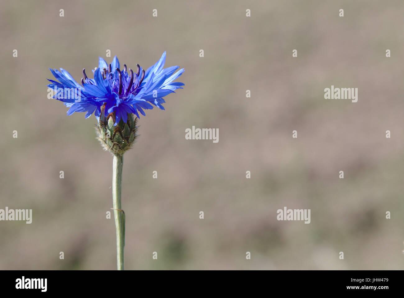 Laurea di primo livello pulsante (Centaurea cyanus) in un campo Immagini Stock