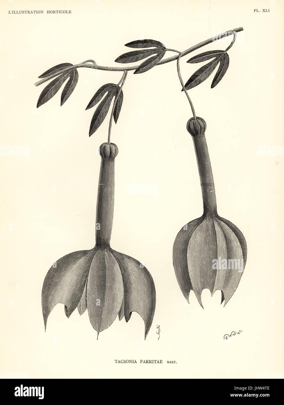 Passiflora passiflora parritae, specie gravemente minacciate (Tacsonia parritae). Xilografia incisione di E.W.S. Immagini Stock