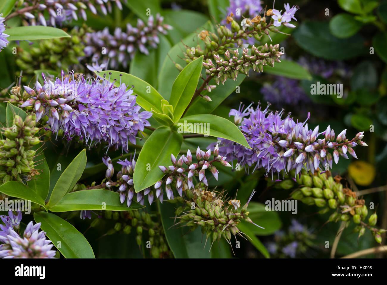Aprire viola pallido fiori e boccioli della fioritura for Hebe arbusto