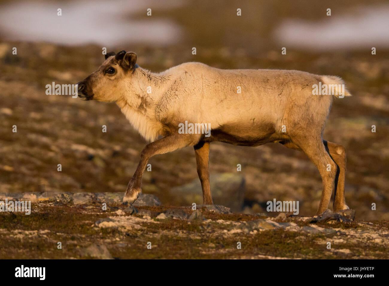 Renne (Rangifer tarandus), individuo giovane a piedi nella tundra paesaggio al tramonto Immagini Stock