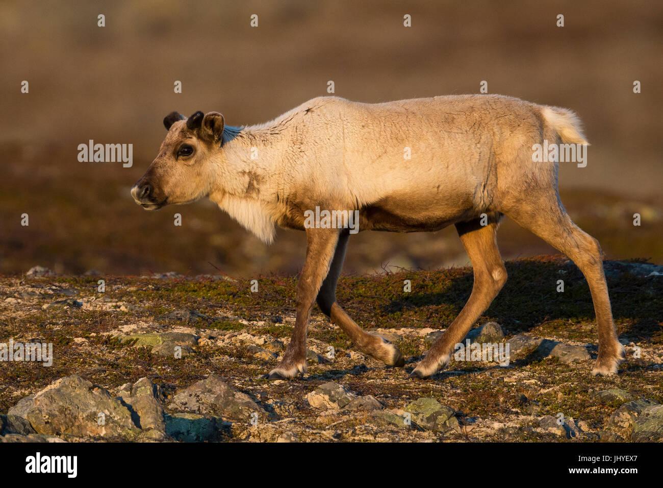Renne (Rangifer tarandus), individuo giovane nella tundra paesaggio al tramonto Immagini Stock