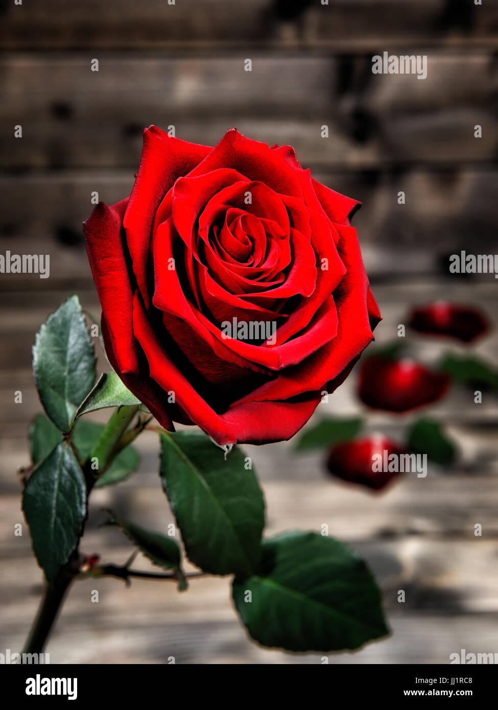 Immagine Di Una Rosa Rossa Fotografato Sullo Sfondo Di Un Antico