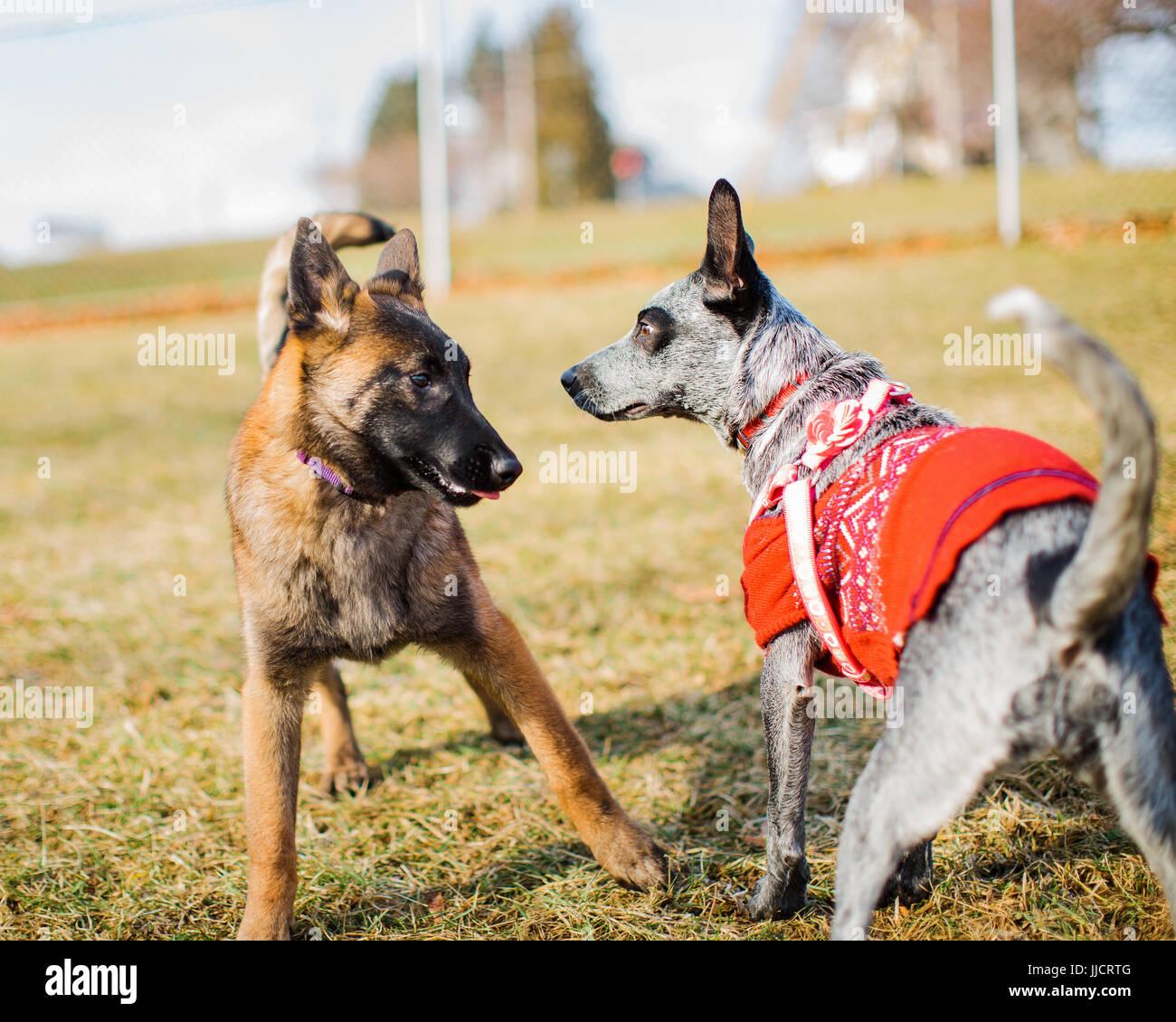 Due cani, un giovane belga Malinois e un blue Heeler indossa un maglione sono introdotti in un dog park. Cucciolo Immagini Stock