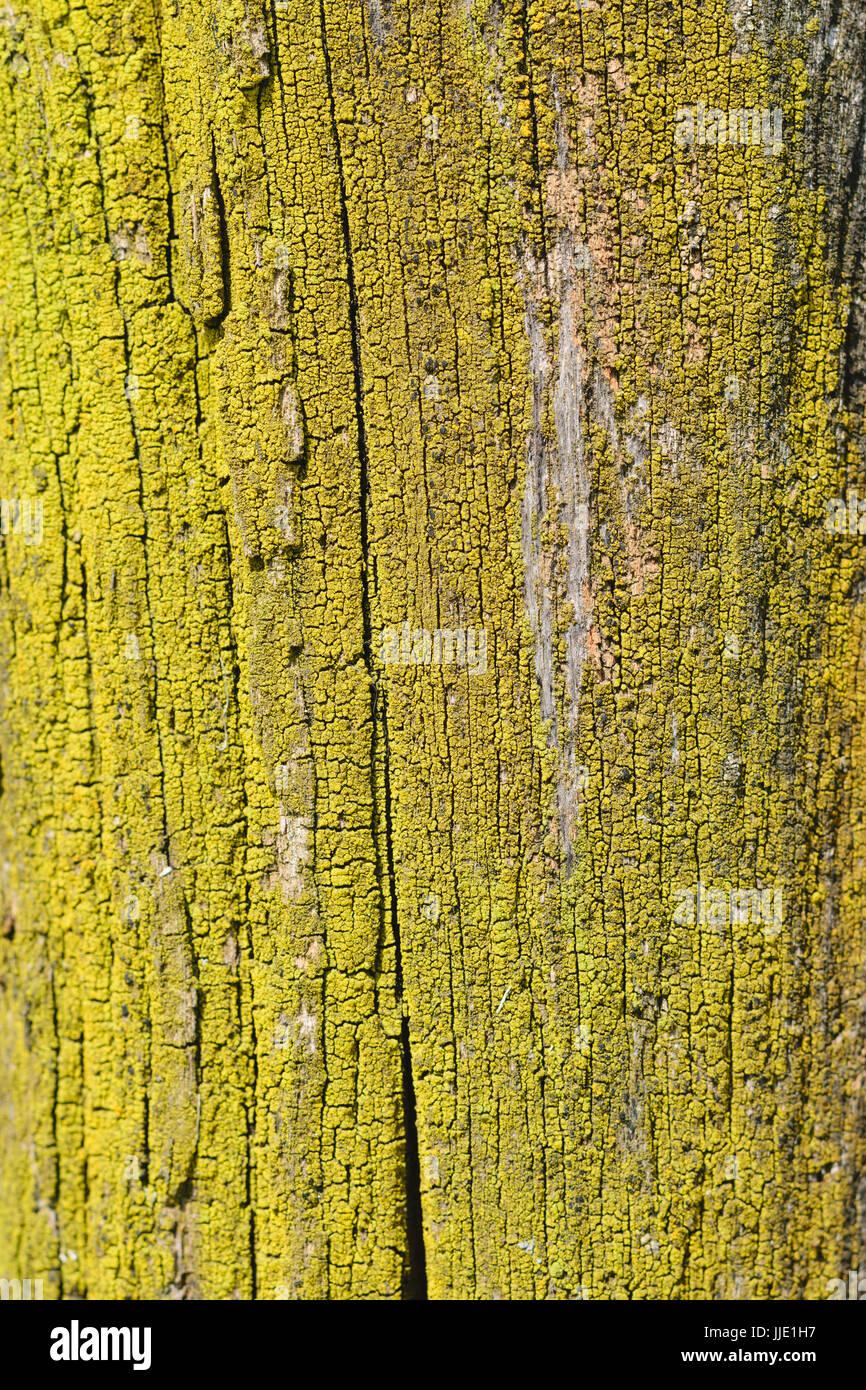 Xanthoria parietina. Lichene giallo sul tronco di albero - configurazione di sfondo Immagini Stock