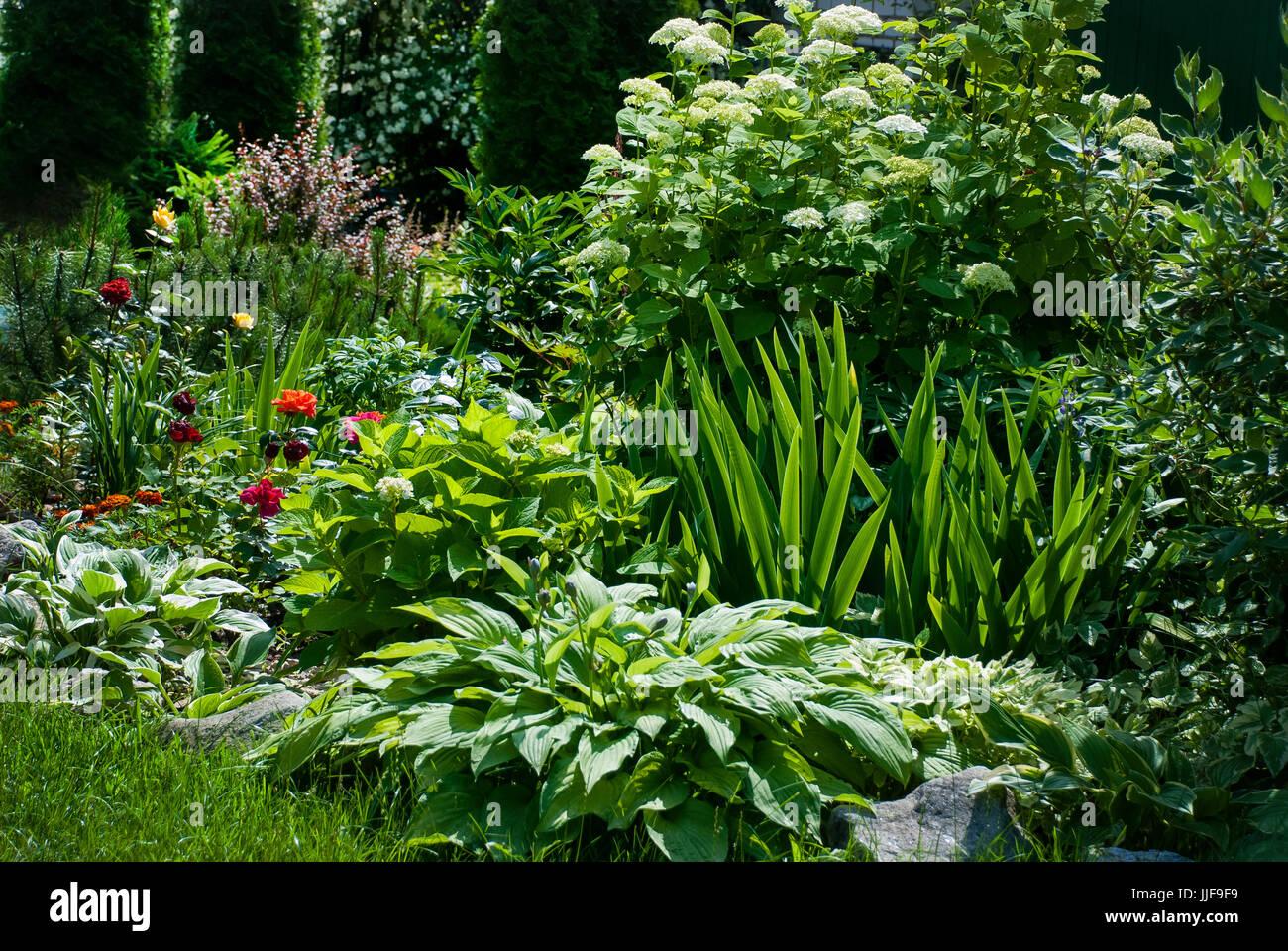 Piante Per Aiuole Perenni aiuola di fiori nel giardino con fiori perenni - ortensie