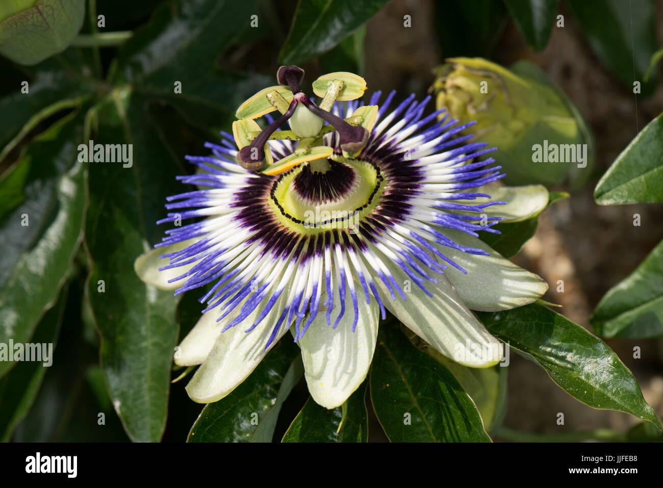 Il Blu fiore della passione, Passiflora caerulea, completamente aperto e dimostrare diversi simboli della fede cristiana Immagini Stock