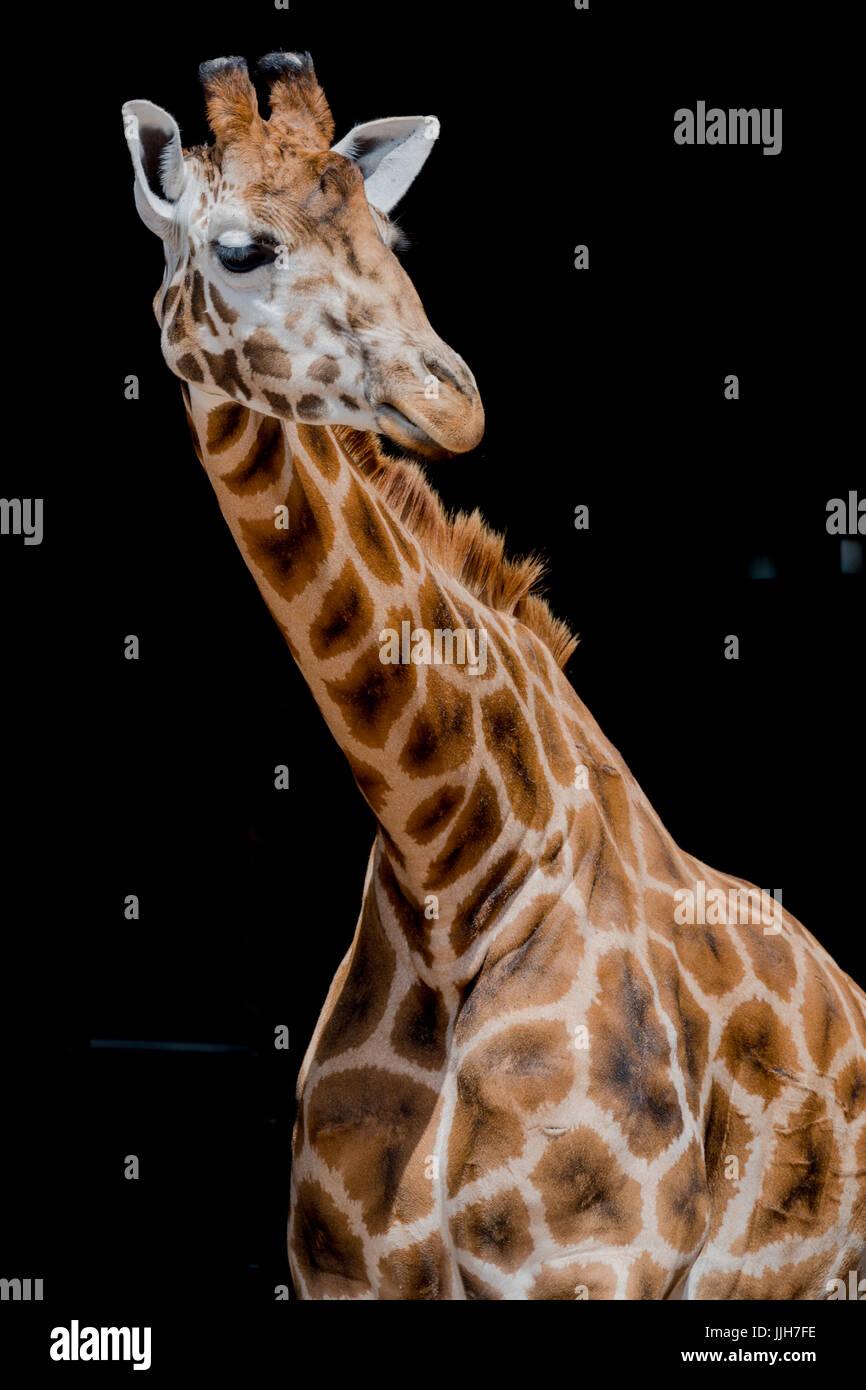 Giraffa con sfondo nero Immagini Stock