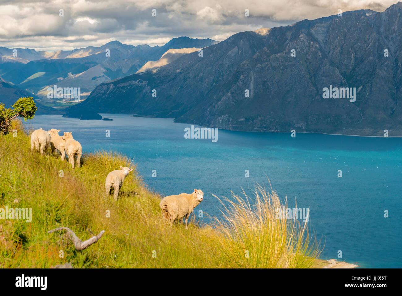 Pecore in un prato di fronte al lago di Lago Hawea e panorama di montagna, Istmo via picco, Otago, Isola del Sud, Immagini Stock