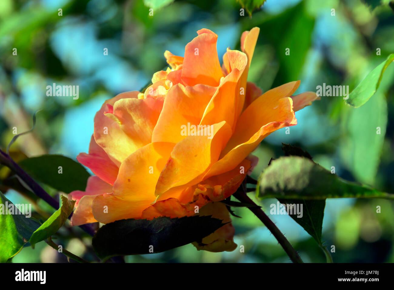 Flores del Parque de las Rosas en Los Angeles California, captadas bajo el Fuerte calor de una tarde de verano, Immagini Stock