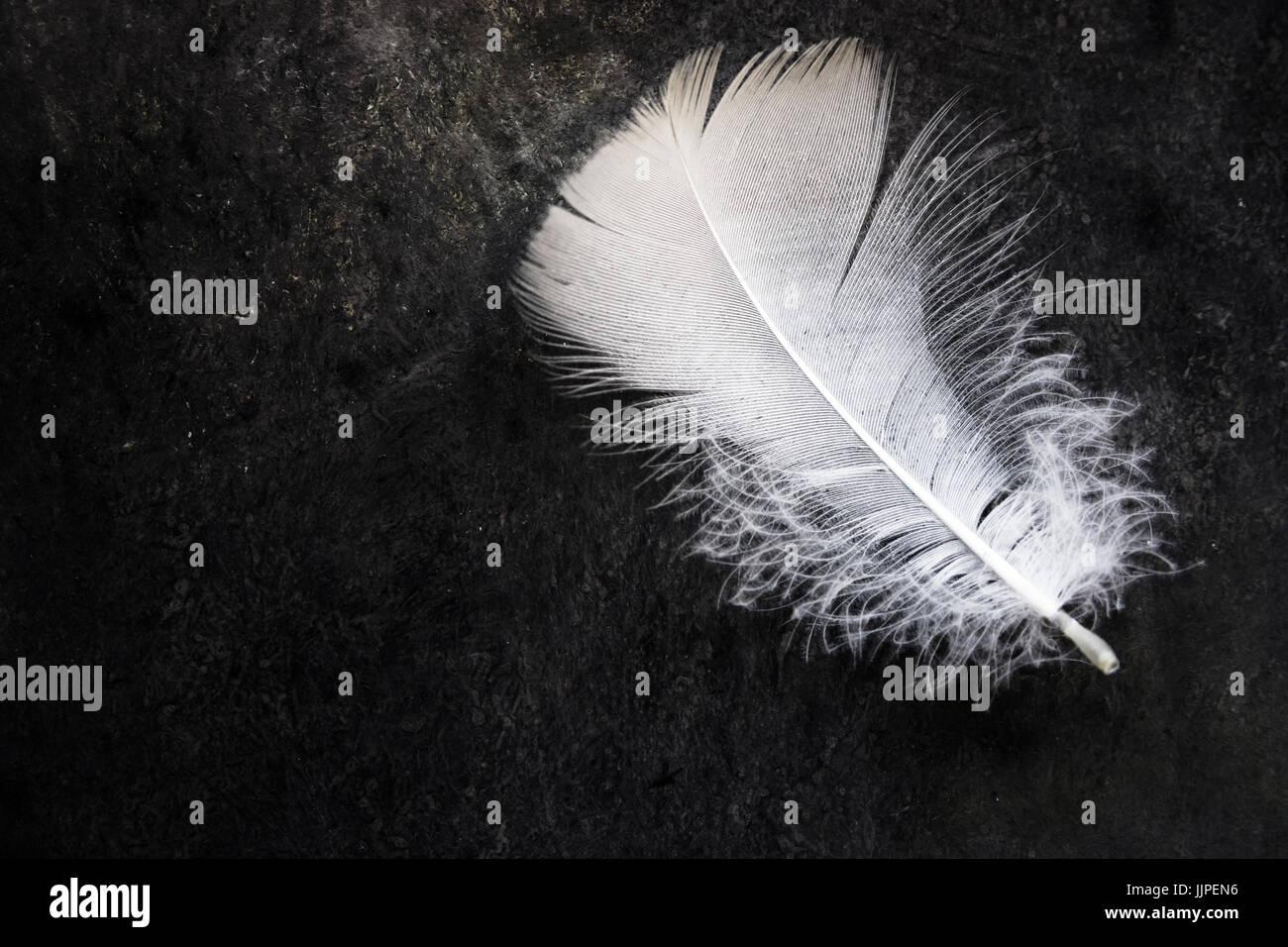 Pulire bianco delicato di piume di uccello sul calcestruzzo nero lo sfondo di pietra, contrasto, purezza, equilibrio, Immagini Stock