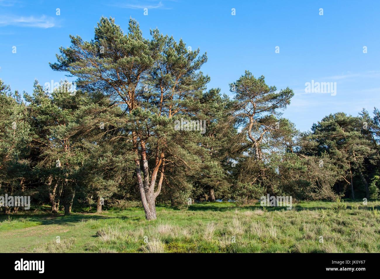 Svuotare i pini nel bordo della situazione forestale in primavera, freistehende kiefern in waldrandlage fruehling im Foto Stock