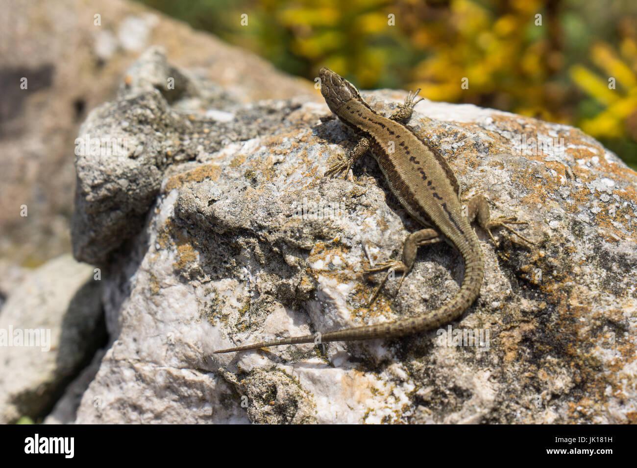 Comune Femmina o la lucertola vivipara (Zootoca vivipara) che è una lucertola eurasiatica come si trova nel nord della Spagna. Foto Stock