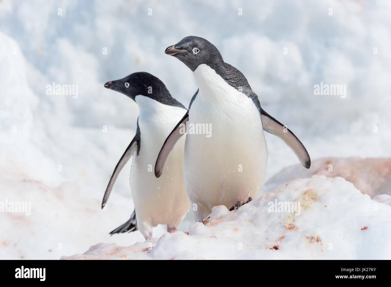 Una coppia di Adelie penguins guardando la telecamera in Antartide Immagini Stock