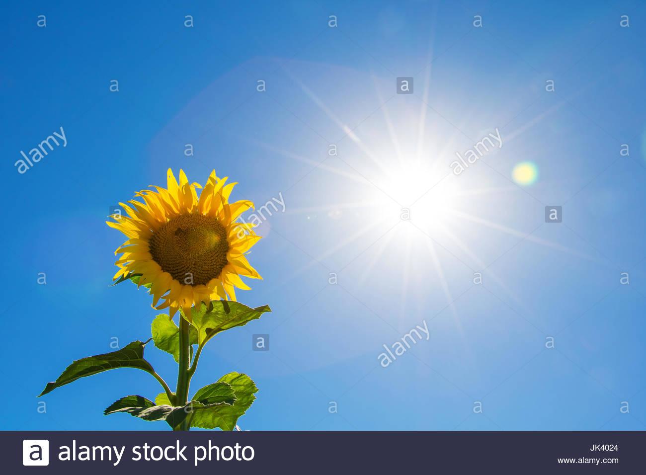 Sfondo Fiori Girasoli Fiori Astratti Con La Luce Del Sole Bellissimo