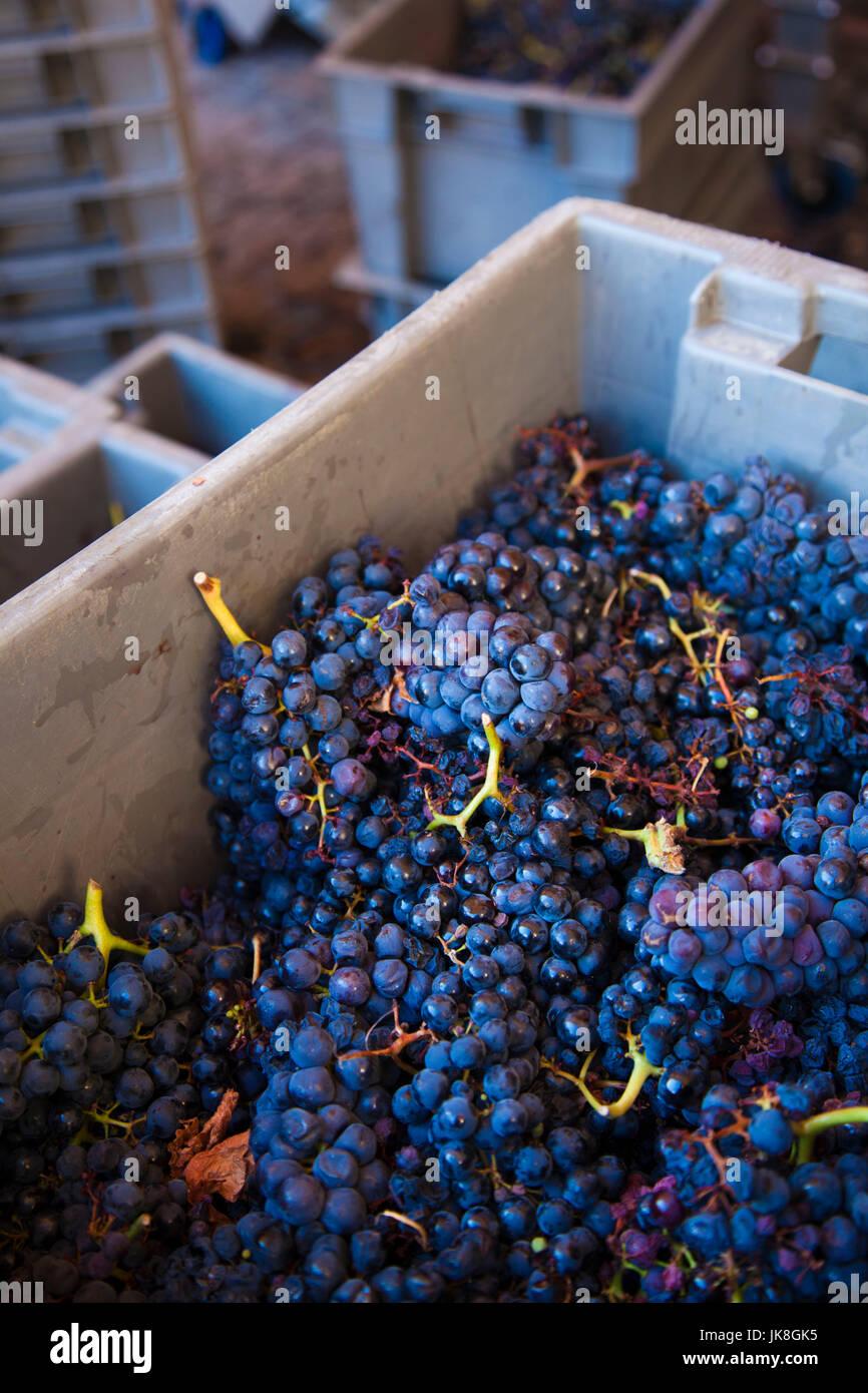 Spagna, regione dei Paesi Baschi, La Rioja zona provincia di Alava, Elciego, Bodega Marques de Riscal winery, uva Immagini Stock