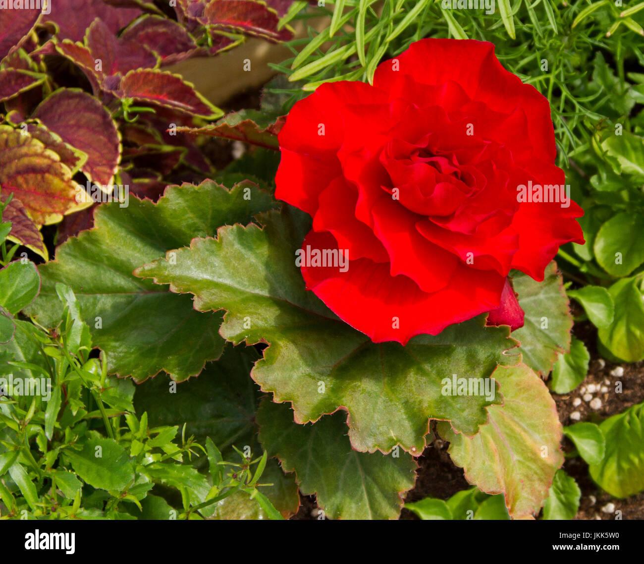 Rosso Vivo Di Fiori E Foglie Di Colore Verde Scuro Di Begonia