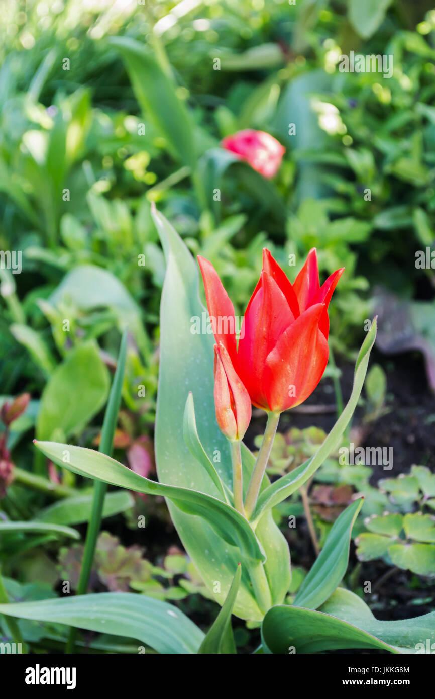 Tulip fiorire nel giardino in Polonia sulla molla. Immagini Stock