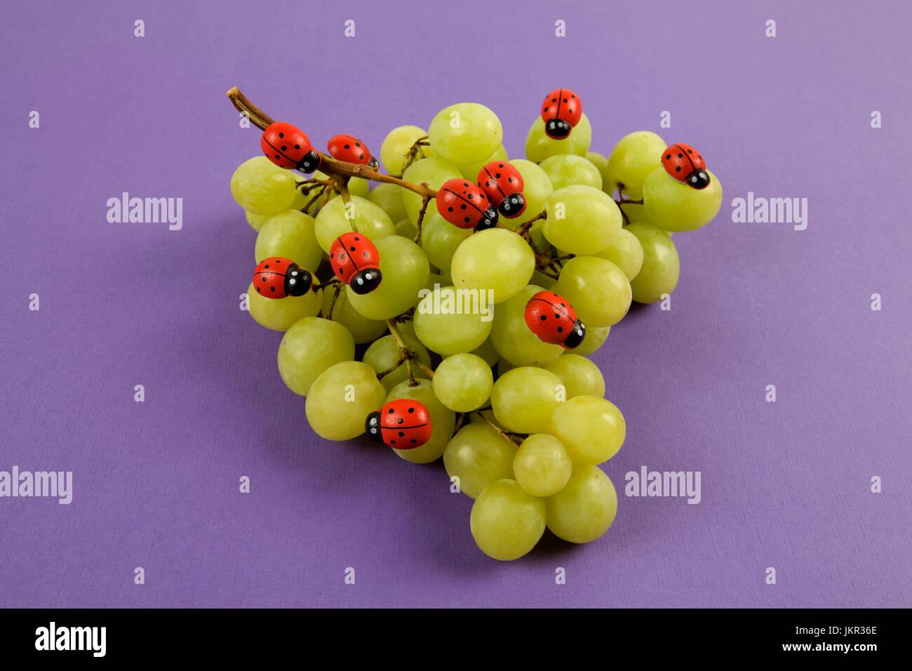 Invasione di ladybugs su un grappolo di uva. Colori brillanti turchese o sfondo violetto. Design Minimal still life Immagini Stock