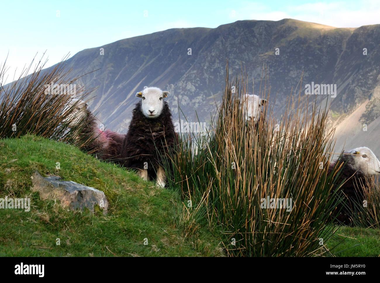 Herdwick pecore nel Lake District inglese, Wasdale, Cumbria Immagini Stock
