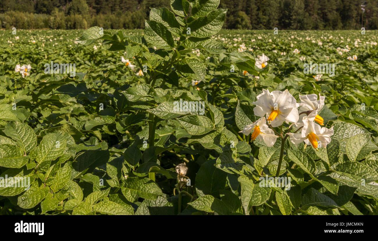 Pianta Con Fiori Bianchi.Fiori Bianchi Su Piante Di Patate Con La Foresta In Background