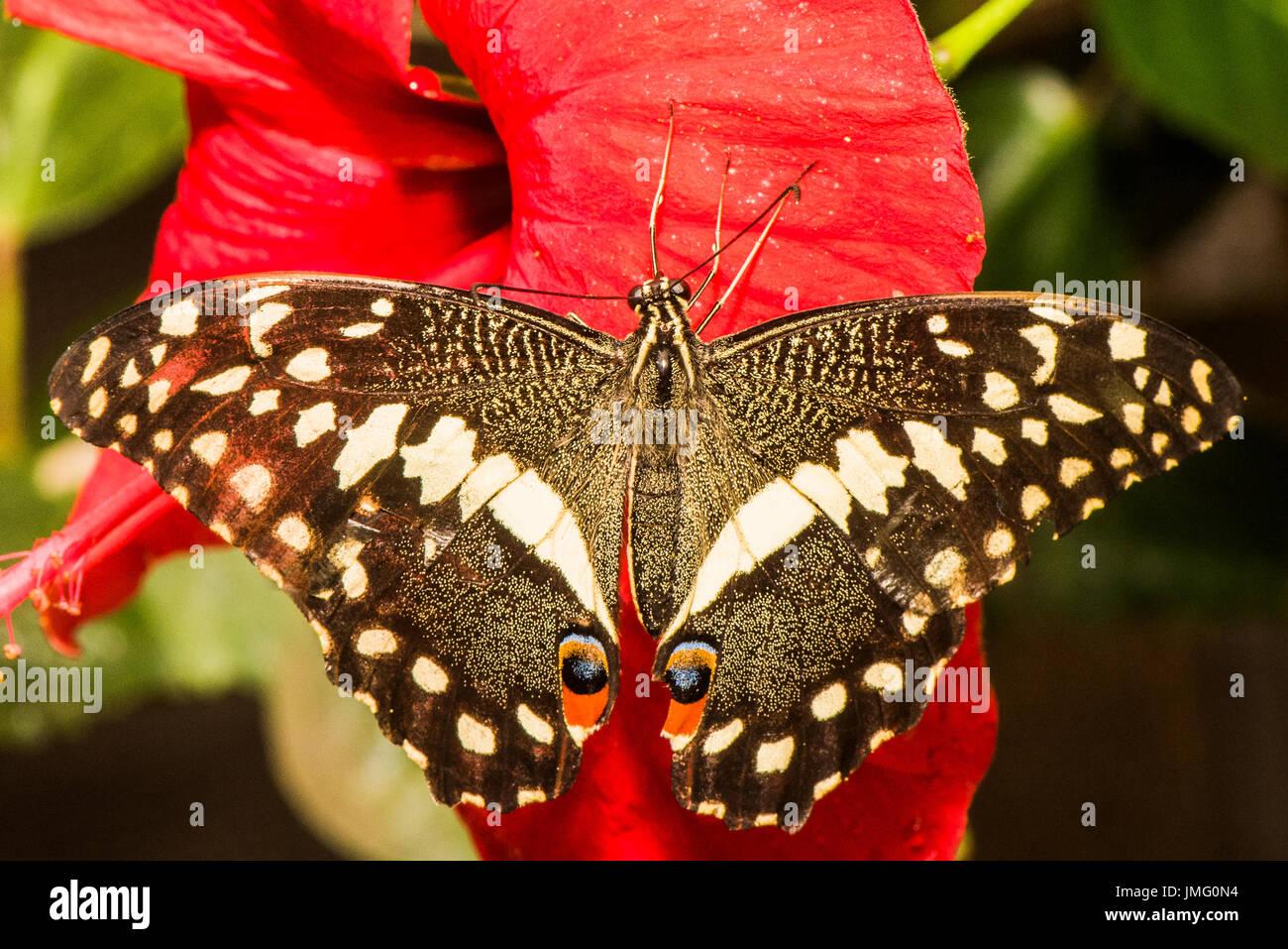 La coda di rondine di agrumi butterfly Immagini Stock