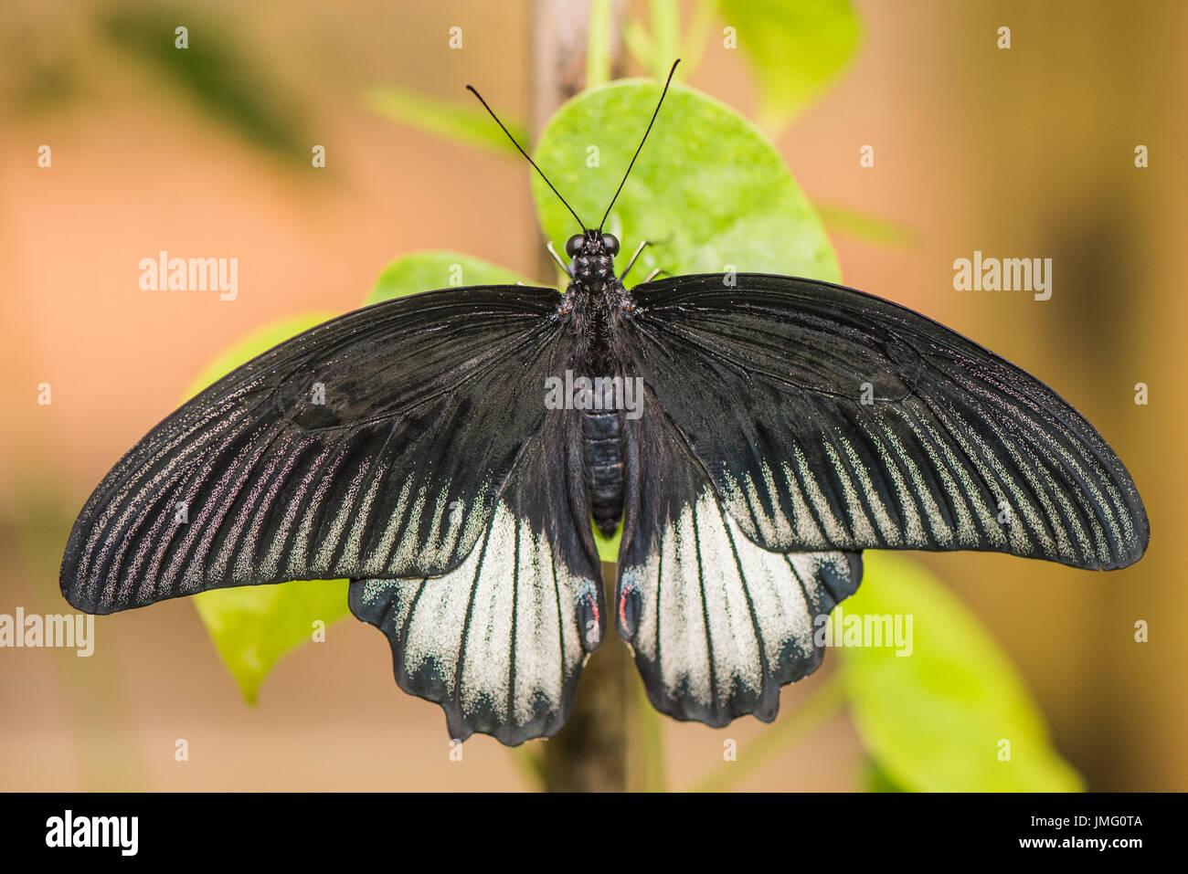 Il grande Giallo farfalla mormone Immagini Stock