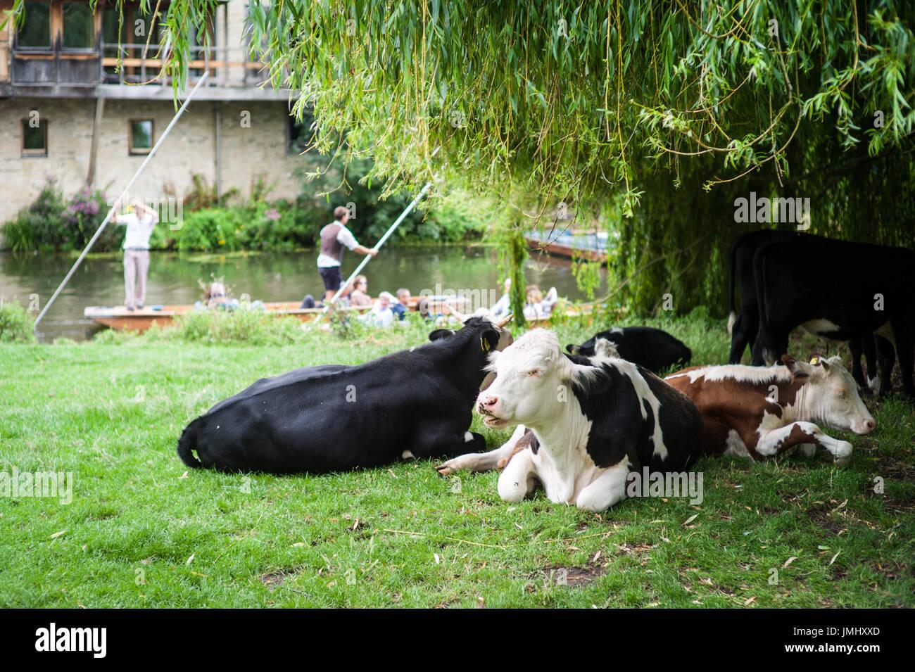 Cambridge - vacche nutrici vagare liberamente sulle spalle di Cambridge, vicino al fiume Cam Foto Stock