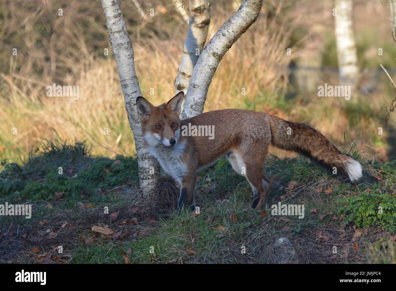 Red Fox (Vulpes vulpes vulpes) - salvato dalla wild Immagini Stock